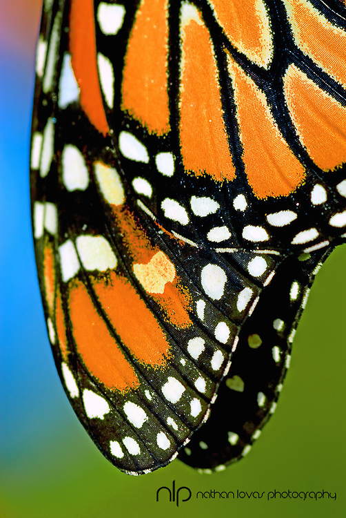 Monarch Butterfly wing detail;  Minnesota in wild.