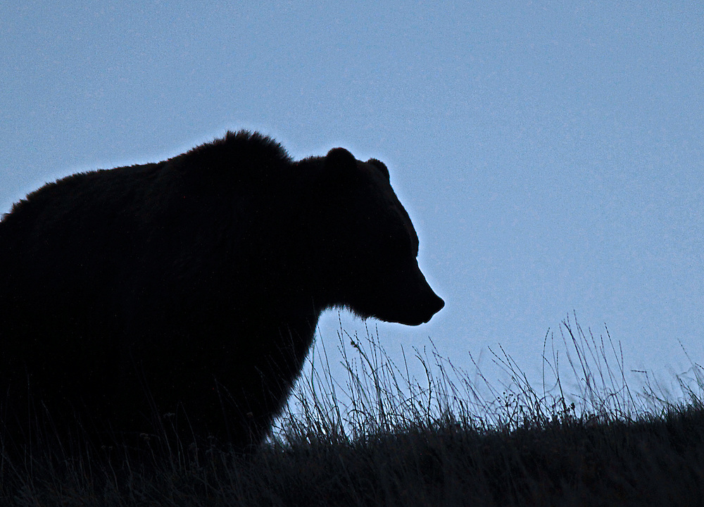 Yellowstone grizzly bear just before sunrise near the summit of Mount Washburn.