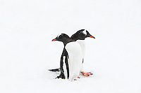 Two Gentoo Penguins (Pygoscelis papua) crowd each other on a Penguin highway, Danco Coast, Antarctic Peninsula, Antarctica.