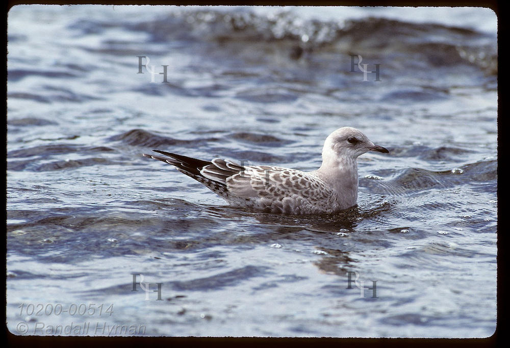 Immature mew gull (Larus canus) swims near shore in August; Wonder Lake, Denali National Park. Alaska