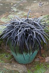 Hoar frost on Ophiopogon planiscarpus 'Nigrescens' in a small green glazed pot