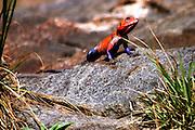 Africa, Tanzania, Serengeti National Park Red-headed rock agama (Agama agama)