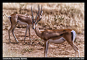 Oryx<br /> Samburu National Reserve, Kenya<br /> September 2012