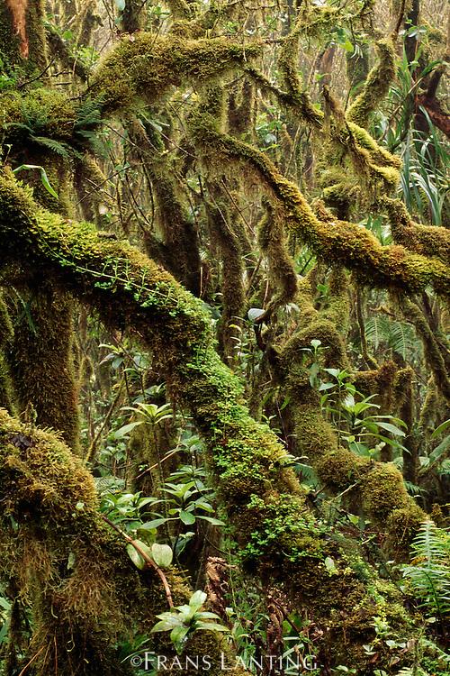 Cloud forest, Kamakou Preserve, Molokai, Hawaii