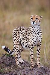 One of three male cheetahs ( Acinonyx jubatus ) resting on a termite mound anxiously watching as his brothers return, Masai Mara, Kenya, Africa