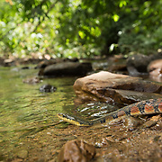 Triangled Keelback (Xenochrophis trianguligerus) in a forest stream in Kaeng Krachan national park, Thailand
