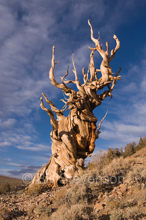 A Bristlecone tree in the White Mountains of Calilfornia at sunset