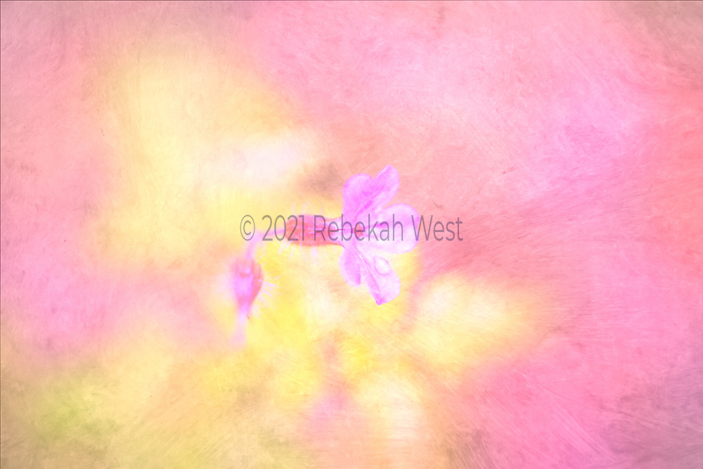 abstract, single profile of petaled bulbed flower facing toward right sits just left of center stalk disappearing below left in rose red violet and white, horizontal background filled with rose chalky pinks and yellows which surround flower, flower art, feminine, high resolution, licensing, iridescent, 5616 x 3744