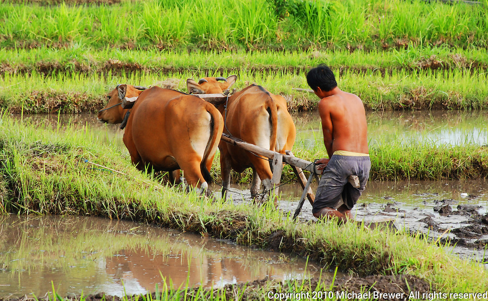 A farmer is plowing his paddy fields the with oxen in the traditional way.  Bali, Indonesia.