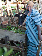 Acham Florence Okorom, 38, feeding her cow. Florence is a second wife and she lives on the compound with her co-wife,. They look after 12 children and 3 orphans. Since her training with Send a Cow, Florence has been able to look after the cow and grow enough food to feed all the family with surplus being sold at market. One of the major improvements is being able to give the children breakfast before they go to school.