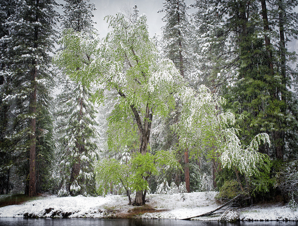 Yosemite, Ca - 2015: Yosemite Valley, 2015. Spring snowstorm at Cathedral Beach.