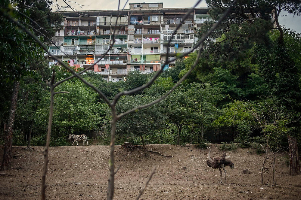 An ostrich and a zebra walk in the grounds of Tbilisi Zoo, overlooked by a Soviet era apartment block. Georgia, Tbilisi