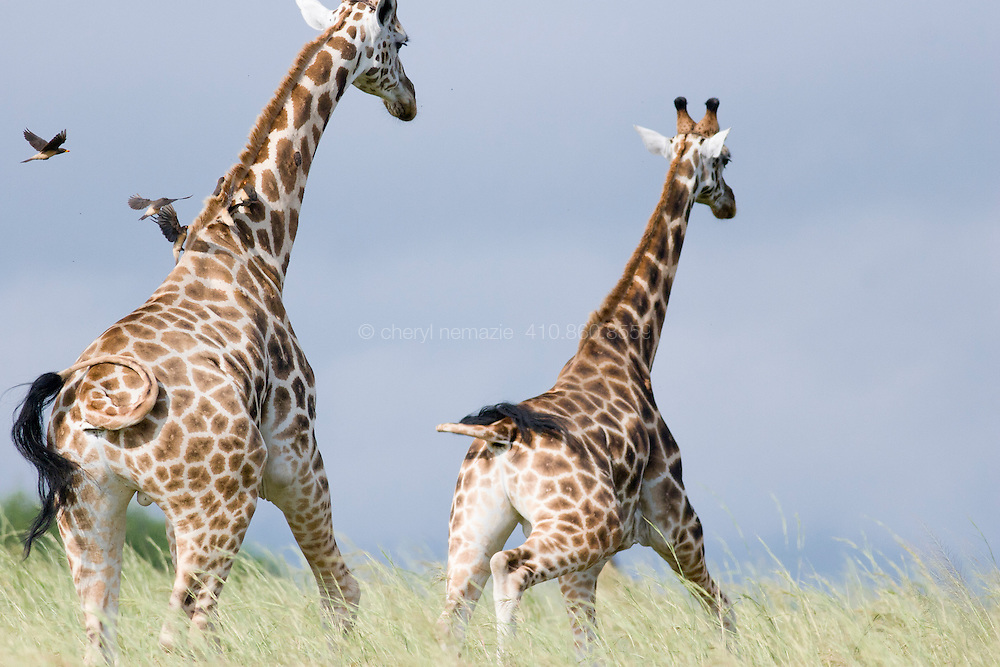 Giraffes wandering on African grasslands in Murchison Falls, Uganda, rear view