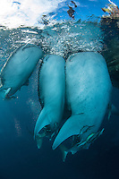 Whale Sharks of Cenderawasih Bay..Shot in Indonesia