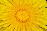 Löwenzahn (Taraxacum officinale) | Dandelion (Taraxacum officinale)