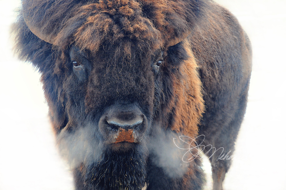 A frosty spring morning and warming sunshine provide the humidity and ideal temperature to see the strong, warm breath of this buffalo bull.