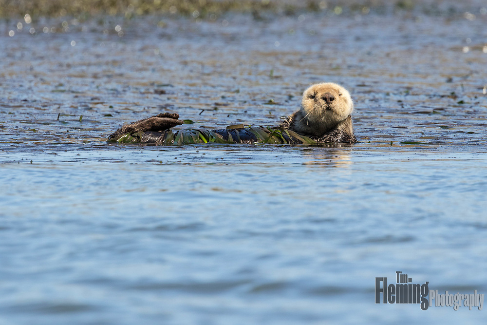 California sea otters often wrap themselves in kelp (shown here) to keep themselves from drifting when resting.
