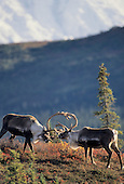 Wildlife: Caribou, Bull Caribou