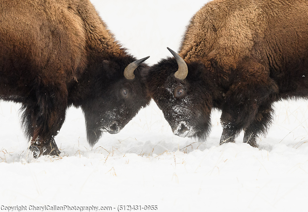 Two Bison facing off in the snow
