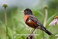 01382-05017 American Robin (Turdus migratorius) on fence near flower garden, Marion Co., IL