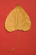 still life of a dried leaf