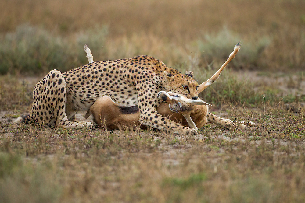 Tanzania, Ngorongoro Conservation Area, Ndutu Plains, Cheetah (Acinonyx jubatas) holds Thomson's Gazelle (Eudorcas thomsonii) by throat to quickly kill it after hunt