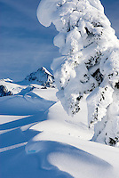 Mountain Hemlocks (Tsuga mertensiana) enscrusted in snow and ice on Kulshan Ridge, Heather Meadows Recreation Area North Cascades Washington USA