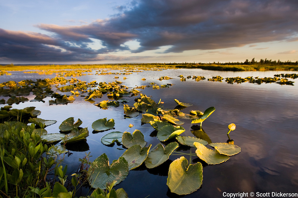 One of thousands of small ponds in the Bristol Bay watershed, this one near the Kvichak River and the village of Igigugig is home to a poplulation of lilly pads, Bristol Bay, Alaska.