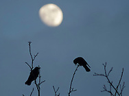 Middletown, New York - Crows (Corvus brachyrhynchos) perche on a tree branches with the moon in the background at twilight on Feb. 4, 2012.