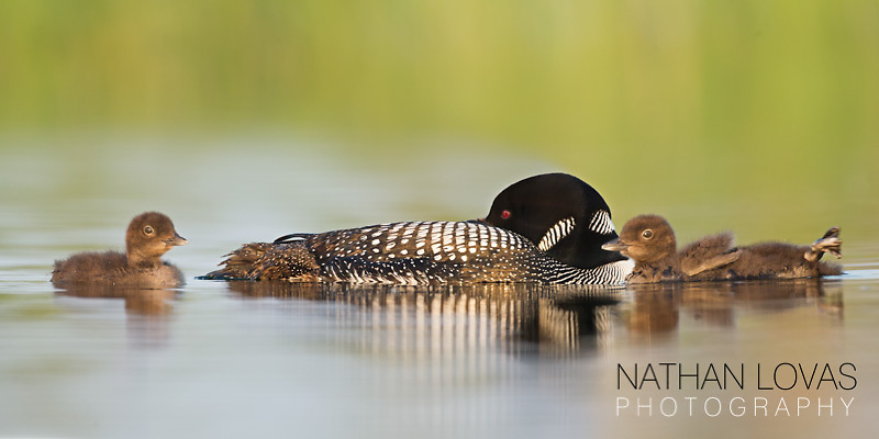 Common loons with chicks;  Minnesota.