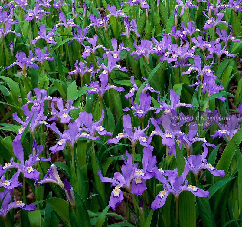 A patch of Dwarf Crested Iris in the Greenbrier region of the Great Smoky Mountains National Park, Tennessee, USA