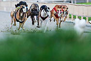 Greyhounds chase the lure, a stuffed bunny rabbit, around the track at Derby Lane.