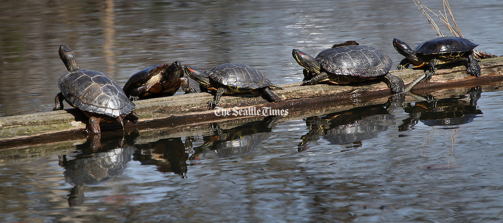 A turtle climbs up onto a log  floating in Lake Washington's Union Bay to join his comrades.  They seemed to be enjoying the wonderful sunshine. (Ellen M. Banner / The Seattle Times)