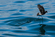 White-vented Storm Petrel (Oceanodroma gracilis galapagoensis)<br /> off of Santa Cruz Island<br /> Galapagos Islands<br /> ECUADOR.  South America<br /> RANGE: off of Galapagos Islands but its breeding grounds are unknown