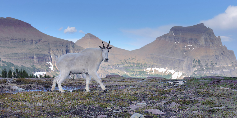 A mountain goat (Oreamnos americanus) strides in front of a beautiful vista in Glacier National Park, Montana