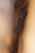 Israeli Fan-fingered Gecko, Ptyodactylus puiseuxi. Photographed in Israel in July