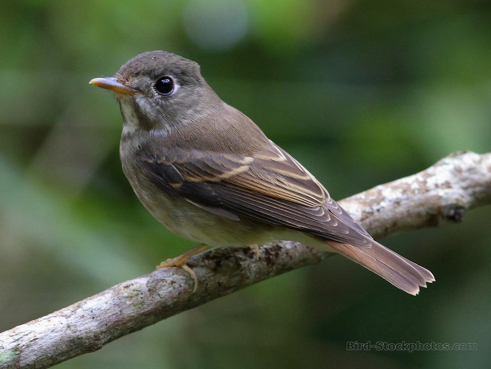 Brown-breasted Flycatcher, Muscicapa muttui, Sinharaja, Sri Lanka, by Jonathan Rossouw