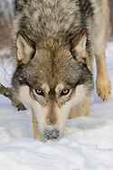 Close up of gray wolf (Canis lupus) in snowy habitat.