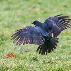 """Gralha-preta (Corvus corone), fotografado na Alemanha, na Unição Européia - Europa. Registro feito em 2016.<br /> ⠀<br /> <br /> <br /> ENGLISH: Carrion Crow, photographed in Germany, in European Union - Europe. Picture made in 2016."""