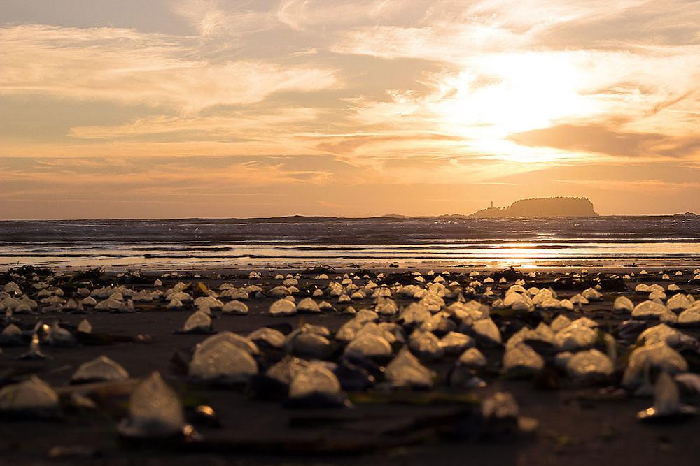 Jellyfish and beautiful Sunset, Tofino, Canada British Columbia