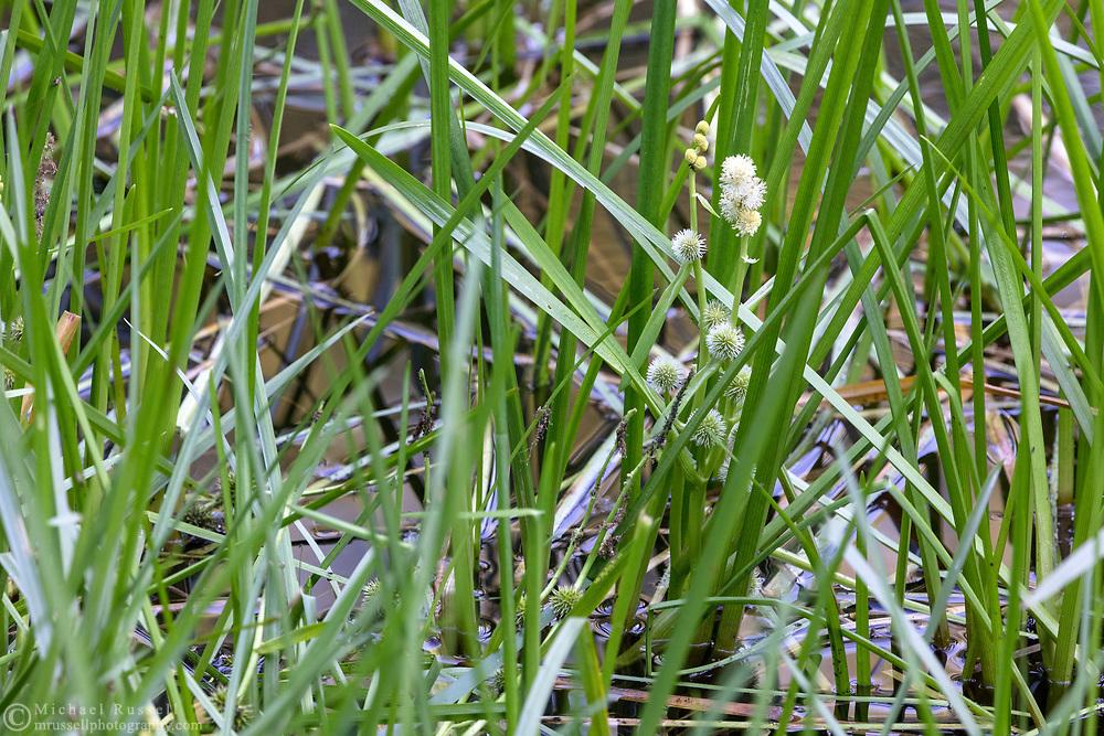 Narrow-leaved Bur Reed (Sparganium angustifolium) flowering in the pond at Godwin Farm Biodiversity Preserve in Surrey, British Columbia, Canada