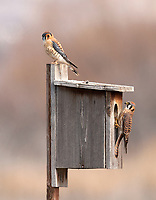 A female American kestrel is about to enter a nesting box while the male is perched on top the nesting box.