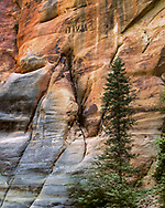 A small Douglas fir brings life to the sandstone contours along the narrow canyon of the North Fork of the Virgin River, © 1990 David A. Ponton