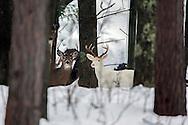 Albino (Leucistic) Whitetail Deer in Winter Habitat