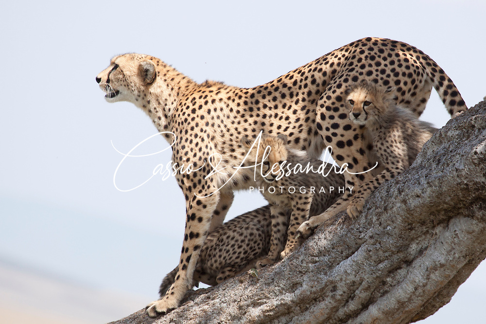 Beautiful sighting of Shingo, a mother cheetah with 6 young cubs.
