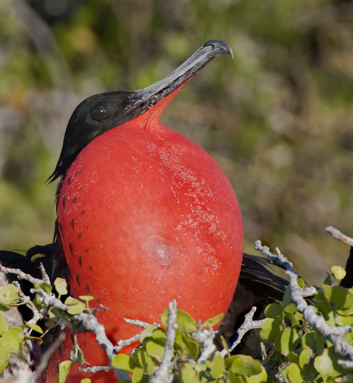 Frigatebird, also called Man of War bird, Pirate bird