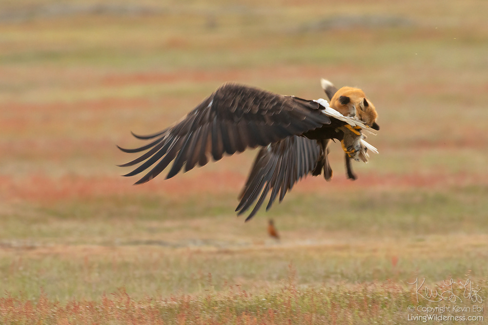 A red fox (Vulpes vulpes) kit briefly rides on the back of a bald eagle (Haliaeetus leucocephalus) after the bird stole the rabbit it caught. When the bald eagle grabbed the rabbit, it inadvertently also caught the fox, lifting both more than 20 feet into the air. The fox swung back and forth trying to take the rabbit back. The bald eagle released the fox and flew off with the rabbit ending the 8-second midair struggle.