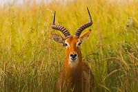 Male Ugandan Kob, Murchison Falls National Park, Uganda.