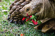 A pet African Spurred Tortoise (Centrochelys sulcata or Geochelone sulcata, or Grooved Tortoise) eats red hibiscus flowers in a yard in Kaneohe, Oahu, Hawaii, USA. It is the third largest tortoise in the world and the largest mainland tortoise. The International Union for Conservation of Nature (IUCN) finds that the African Spurred Tortoise is Vulnerable to extinction due to habitat loss (urbanization and over grazing by domestic livestock), being eaten by nomadic tribes, being used to make longevity potions in Japan, and being captured for the pet trade in Europe and North America. This desert-dwelling tortoise is native to the southern edge of the Sahara Desert from Senegal and Mauritania, east through Mali, Chad, the Sudan and Ethiopia, to Eritrea. Red hibiscus is native to tropical Asia, and is cultivated in Hawaii.