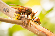 Hornet (Vespa crabro) and ladybirds drinking sap from birch sapling. Surrey, UK.